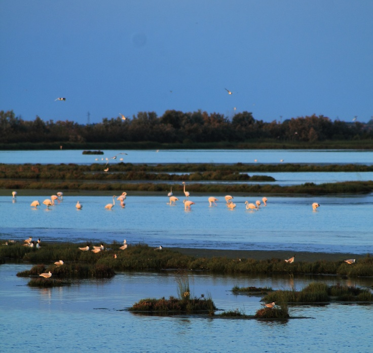 Pink Flamingos at Lio Piccolo (Venice Lagoon)