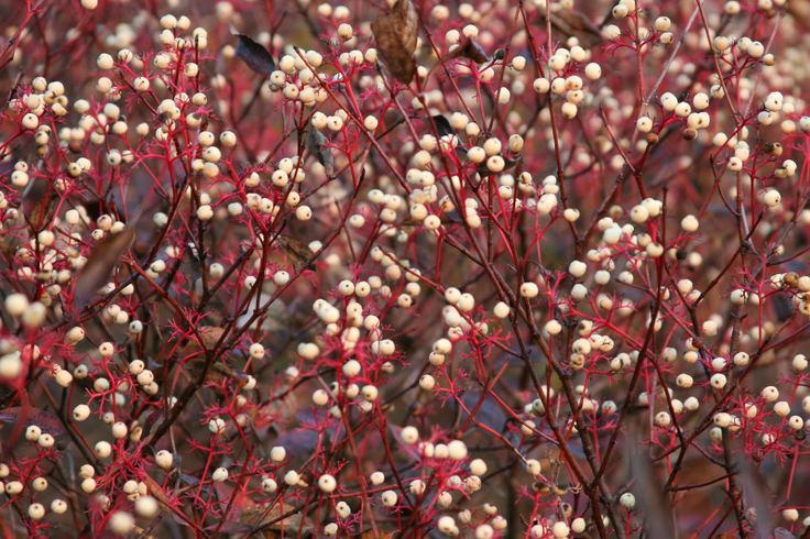 red osier dogwood | Red-Osier Dogwood berries and twigs