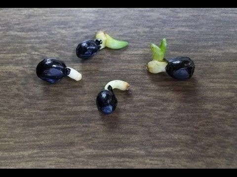 How to Germinate Seed of any flower, vegetable or tree - grow seeds fast...