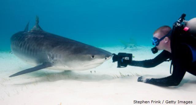 Types of Sharks: Tiger Shark (Galeocerdo cuvier)