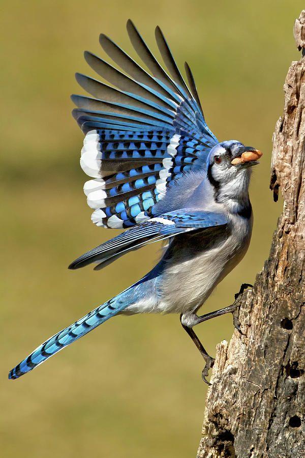 51 best Blue Jays images on Pinterest  Beautiful birds