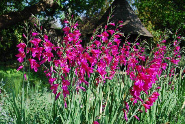 Gladiolus Byzantinus, Gladiolus Nanus 'Byzantinus', Byzantine GladiolUS, Purple gladiolus, purple sword-lily