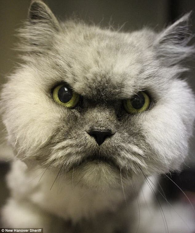 Best Grumpy Kittens Images On Pinterest Animated Gif Cats - 35 cats pulling ridiculous faces imaginable