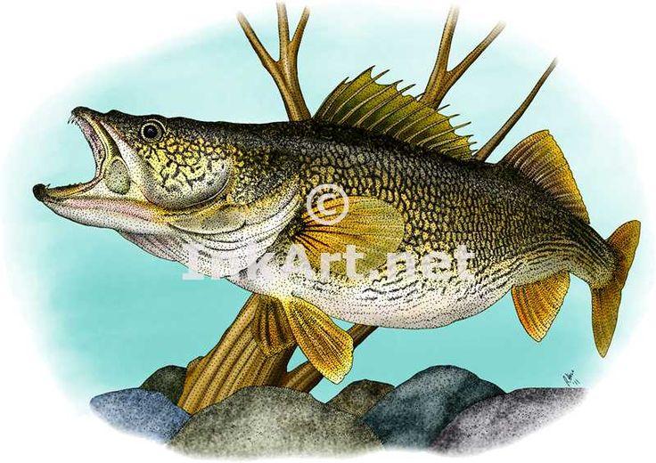 Walleye walleye sander vitreus line art and full color for Best fishing line for walleye