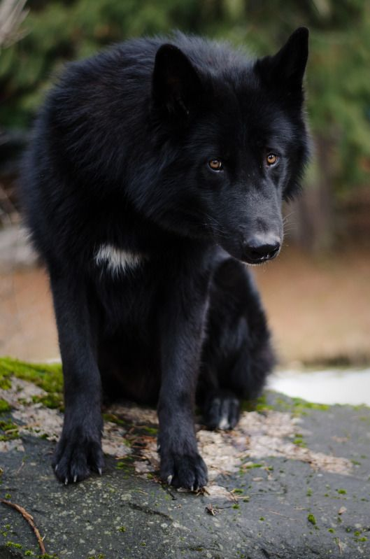 Alaskan noble companion dog <3 I am going to get one of these beautiful canines one day :) ~Vixenn