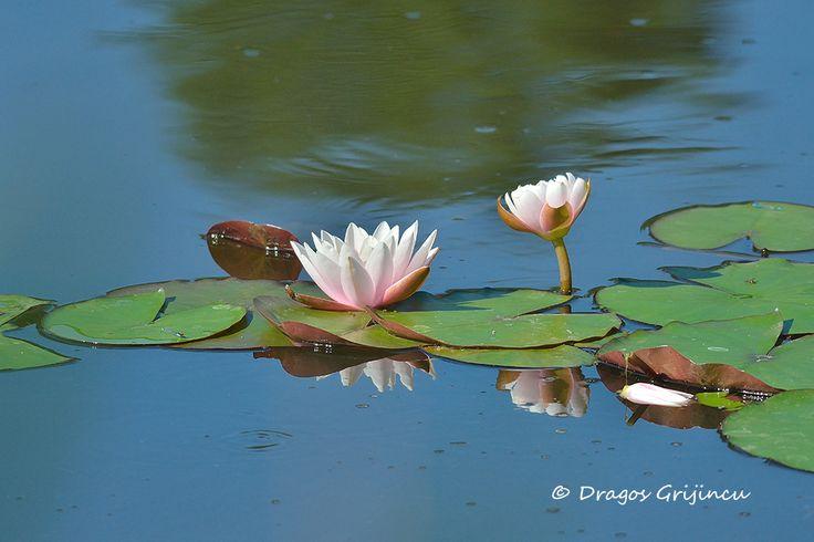 Floare de lotus, Casa Comana