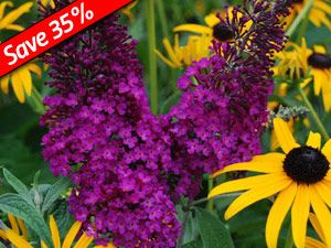 Buddleia Attraction is a drought & deer proof shrub for the sunny perennial garden
