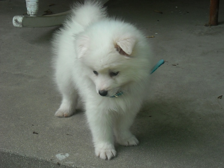 My toy American Eskimo puppy