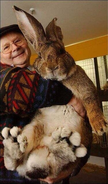 If my bunny ever got this big, I'd have to potty train it, give it ...