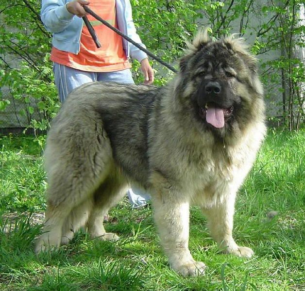 As 25 mais perigosas raças de cachorro
