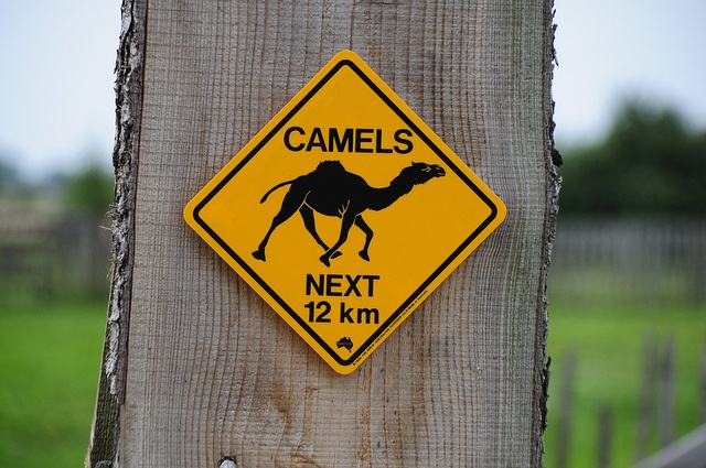 Op kamp tussen de kamelen!  www.ideekids.be/dierenverzorgerskamp