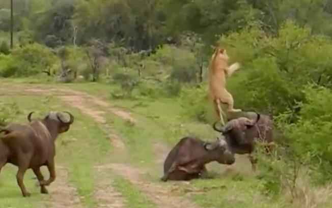 Un búfalo embiste a un león para salvar a un miembro de su manada