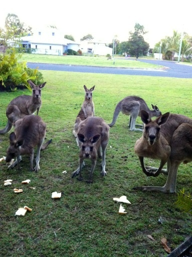 """""""@alaxitoo Hi y'all"""" from Woodgate in Queensland Australia. Beautiful beaches and friendly wildlife."""
