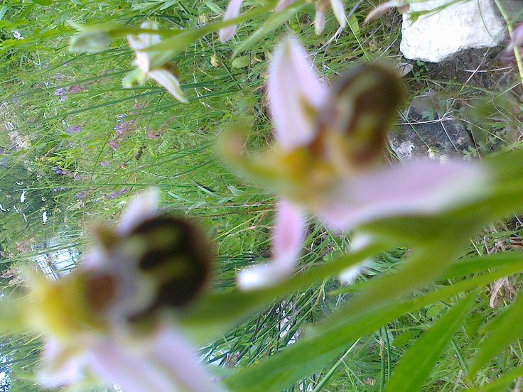 karadeniz orkidesi