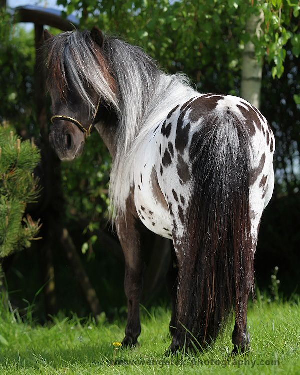 Miniature Appaloosa pony stallion - Small is Beautiful - by Karolina Wengerek - Equine Photography