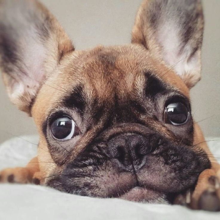 My Monday face  French Bulldog Puppy, @shantel_lizelle