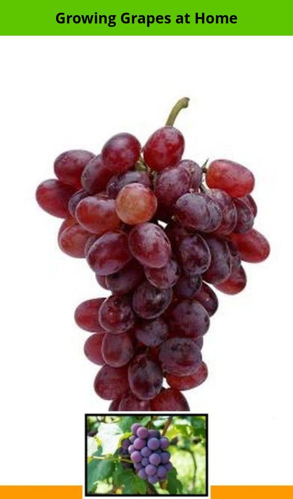 what's a grape grower called