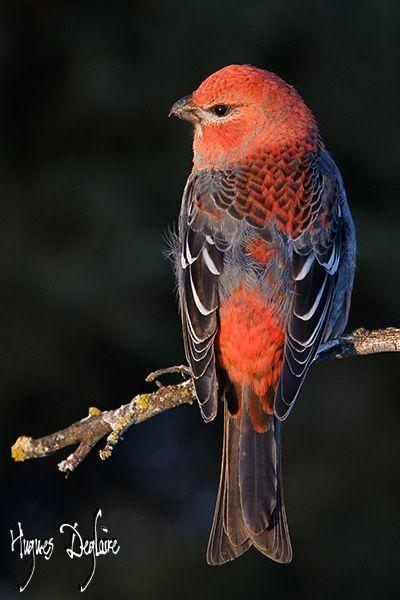 I love this bird!  Beautiful male Pine Grosbeak (Pinicola enucleator)  #birds #wildlife #nature