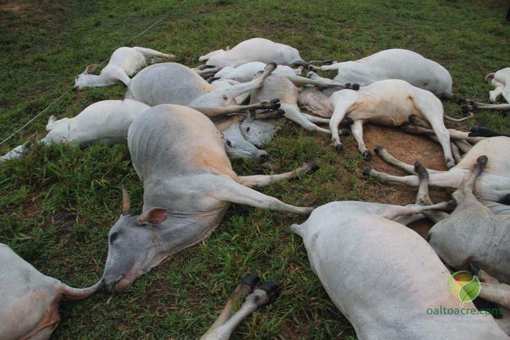 Rancho D'Ajuda: Morte de gado preocupa criadores na região agreste...