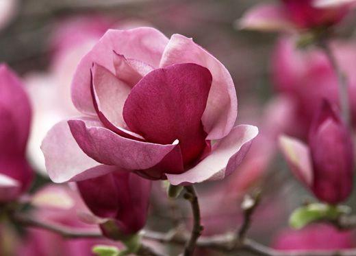 Wiosenna nalewka z magnolii
