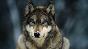 Bevindt wilde wolf zich nog in ons land? Om een wolf tegen te komen hoef je niet langer naar een dierenpark, met heel veel geluk zie je er één tijdens een wandeling in de Ardennen. Enkele jagers in Nassogne, in de provincie Luxemburg, hebben er één gezien.