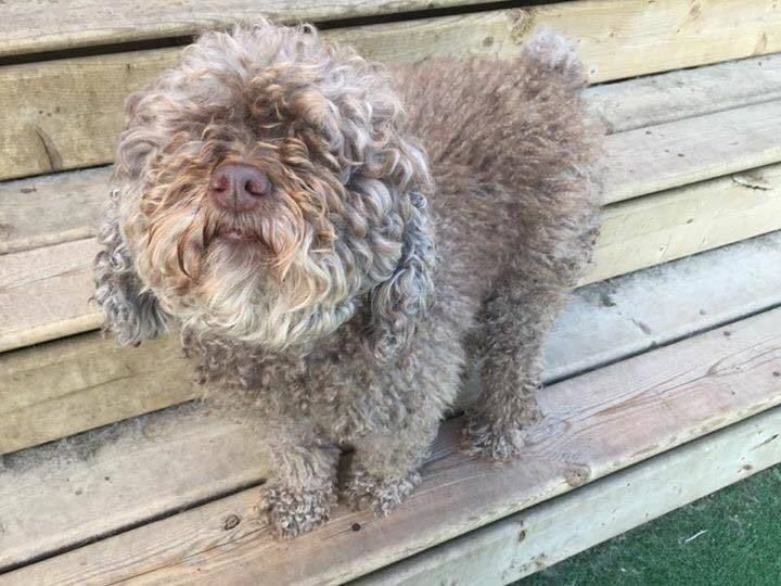 Zena (Courtesy Post) is an adoptable poodle searching for a forever family near Vancouver, BC. Use Petfinder to find adoptable pets in your area.