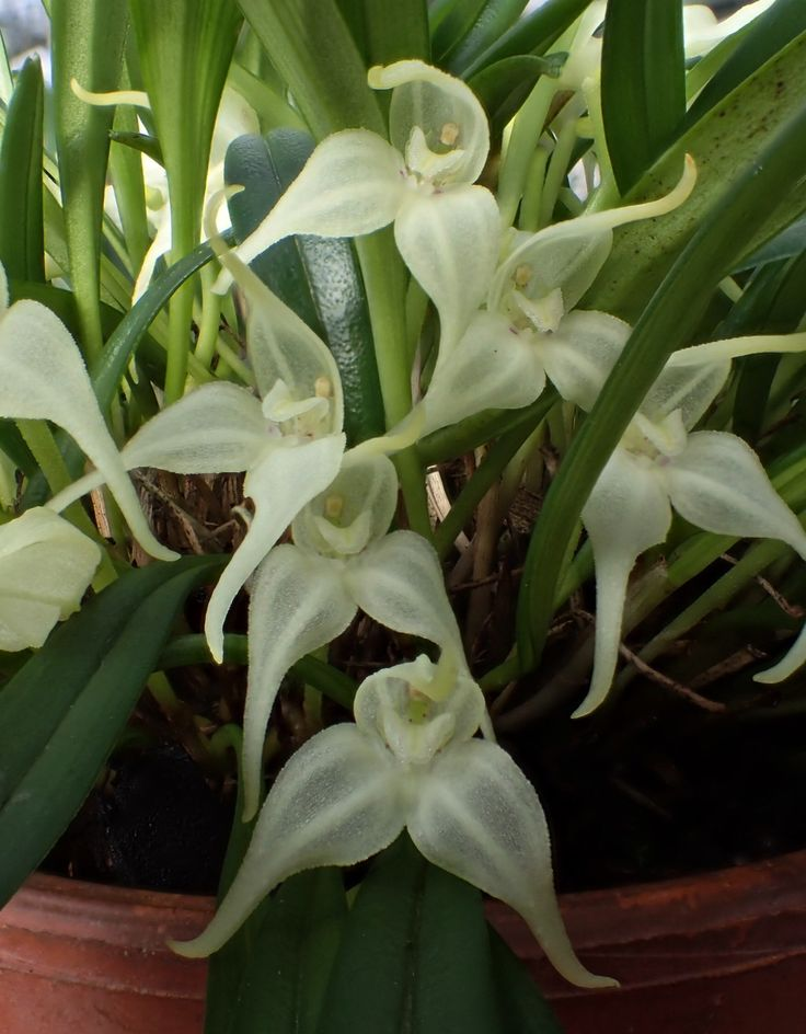 Dryadella albicans Syn.: Masdevallia albicans January 11, 2015