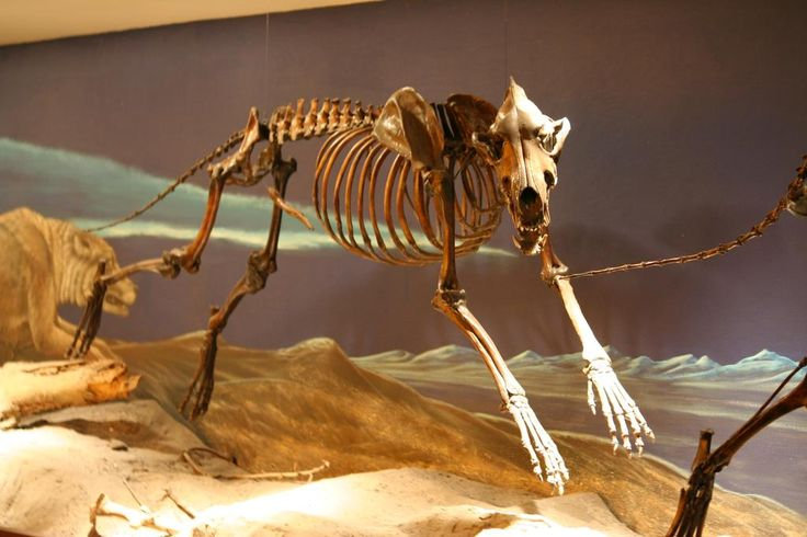 "Dire Wolf (canis dirus) ""fearsome dog"". Ice age mammal."