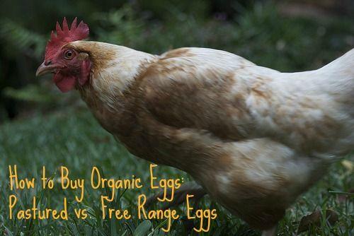 How to Buy Organic Eggs: Pastured vs. Free Range Eggs / http://www.cheeseslave.com/how-to-buy-organic-eggs-pastured-vs-free-range-eggs/