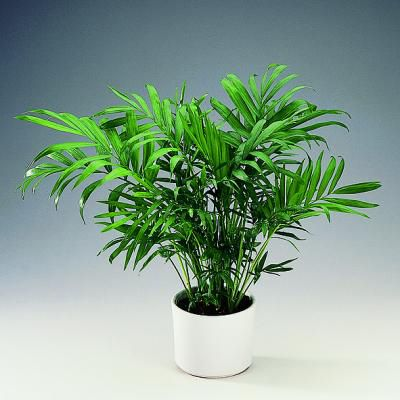 Parlor/Bamboo Palm: According to NASA, it removes formaldehyde and is also said to act as a natural humidifier.  Non-toxic to cats.