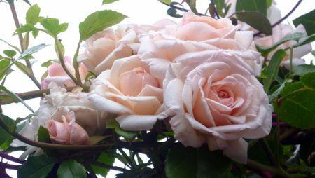 penny lane rosier grandes fleurs anciennes blanc cr me. Black Bedroom Furniture Sets. Home Design Ideas