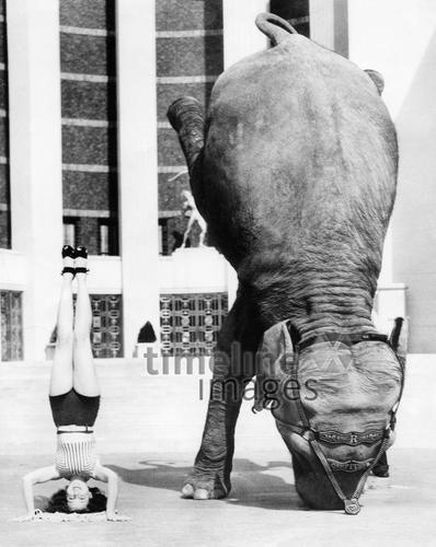 Elefant und Artistin machen Kopfstand ullstein bild - ullstein bild/Timeline Images, 1937