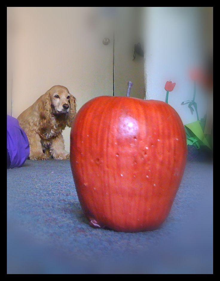 Ilusión Óptica: Ya que los objetos, en este caso la manzana y el perro se ven de un tamaño similar, cuando en realidad el perro es mas grande; esto sucede por la perspectiva con la cual se llevo acabo la fotografía.