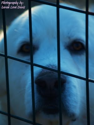 Emma - Our beautiful Great Pyrenees Livestock Guardian Dog - can't raise livestock without these dogs!