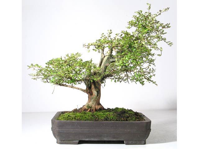 Photo du bonsai : Chèvrefeuille arbustif (Lonicera nitida)