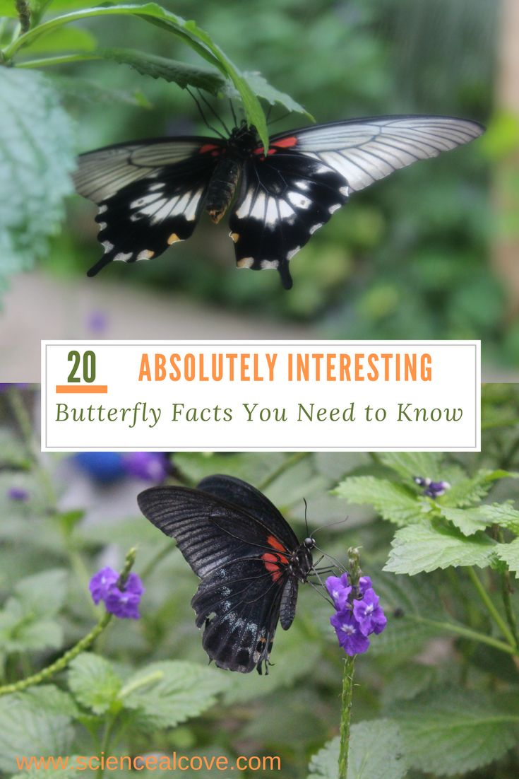 20 Absolutely Interesting Butterfly Facts You Need to Know We are all familiar with butterflies but how much do we know about these delicate,ephemeral fliers? Here are 20 lesser known interesting butterfly facts. #butterflies #insects #science #pollinator