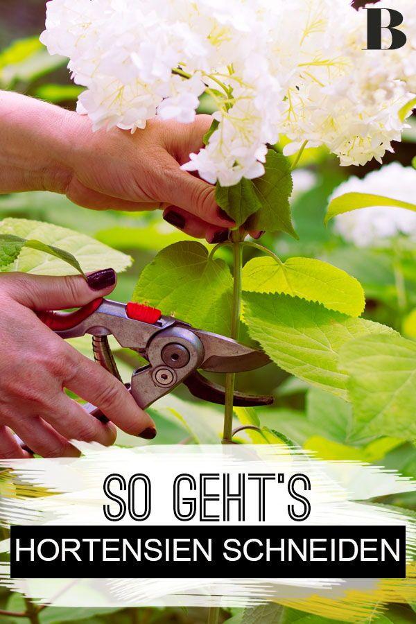Hortensien schneiden: Wann und wie es klappt. Wann…