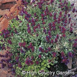 Desert Purple Sage  I Am Definitely Getting One Of These For My Xeric  Hummingbird