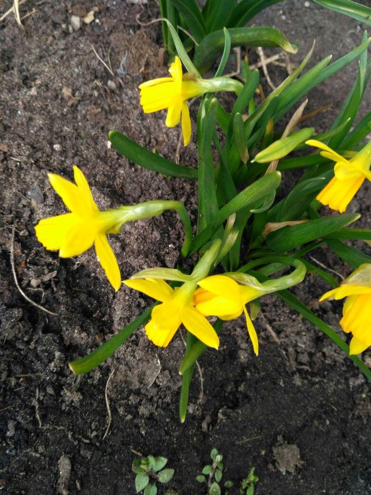 Narcis (narcissus) Foceno: u kamarádky na zahradě