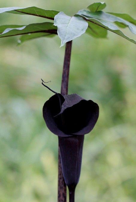 ウラシマソウ '黒真珠'