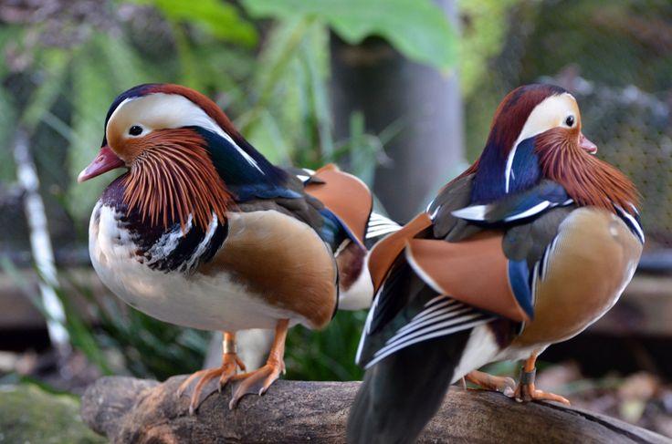 The magnificent Mandarin Duck