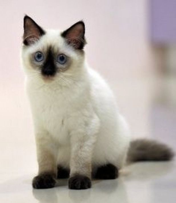 Most Popular Siamese Cat Names Click The Picture To See I Love How It Says Siamese Cat Names But The One In The Picture Is Not Cute Cats Kittens Cutest Cats