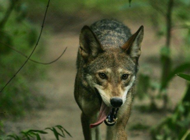 In beeld: wolven in het wild - KnackWeekend.be // Rode Wolf in Alligator River national Wildlife Refuge, een van de weinige plaatsen waar de rode wolf nog voorkomt.
