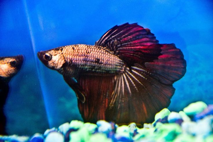 17 best images about betta on pinterest copper auction for Dragon scale betta fish