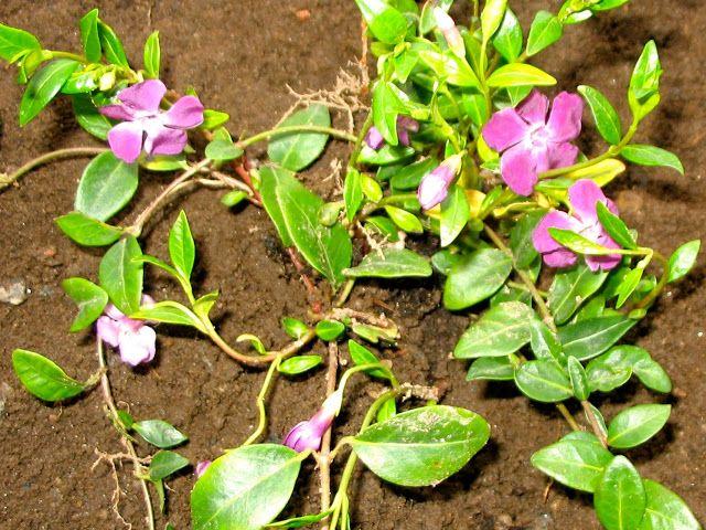 Vintergröna purpur