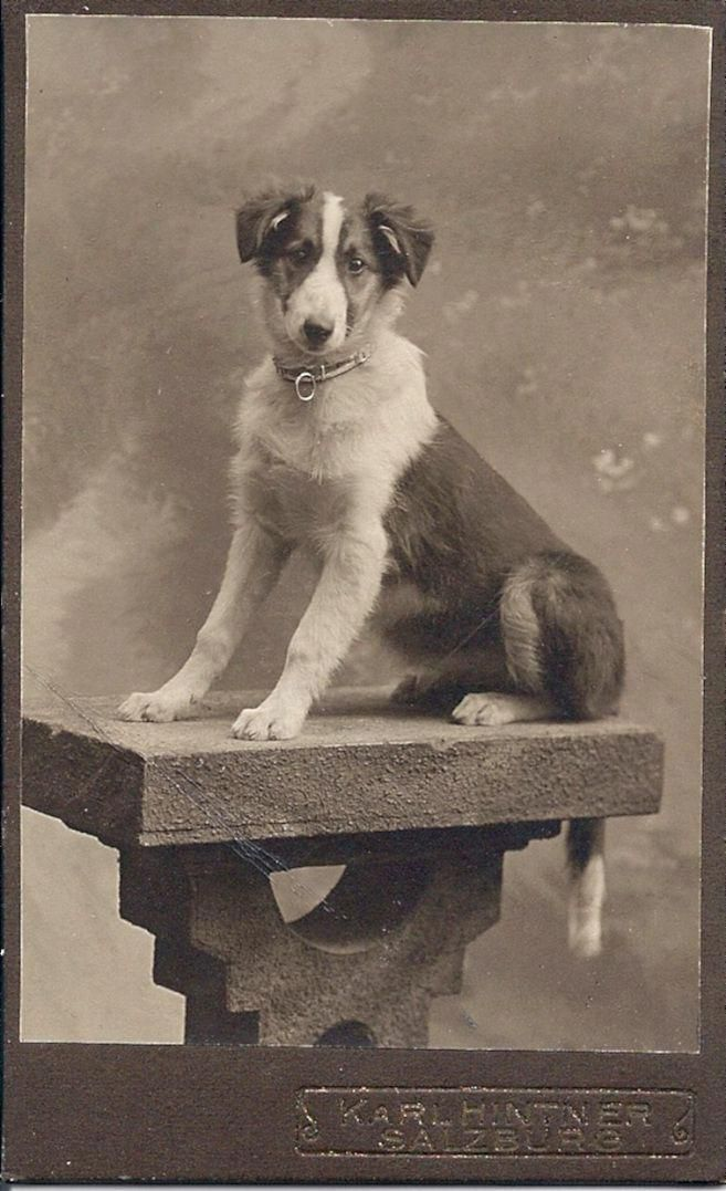 1909 Collie Puppy With Images Vintage Dog Dogs Dog Photograph