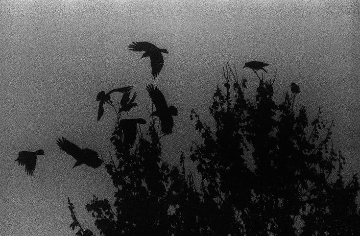 fog ravens