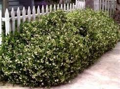 75 confederate jasmine bush FRONT ISLAND