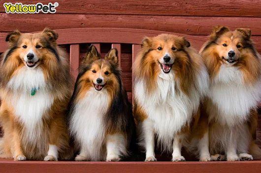 El pastor de las islas Shetland es un perro que proviene, como su nombre indica, de las islas de Escocia del mismo nombre. Los shelties tienen un doble manto que hace que además de darle volumen a su pelo estén muy resguardados del frío. Son leales, amorosos y obedientes