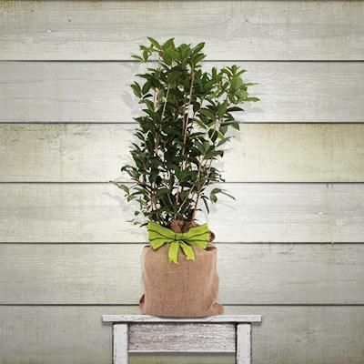 Arbequina Olive Tree - Gift Tree | Fast-Growing-Trees.com